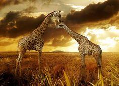 Giraffe. Courtesy http://www.hqwallpaper.ca (Public Domain).