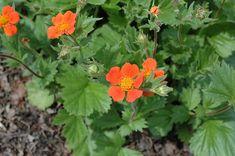 Boris' Grecian Rose (Geum borisii) at Minor's Garden Center