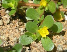 purslane plant in wild common edible plants Purslane Plant, Portulaca Oleracea, Surviving In The Wild, Edible Wild Plants, Garden Weeds, Wild Edibles, Plantar, Edible Garden, Edible Flowers