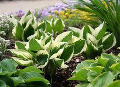 Hostas - Gardening for Beginners - 20 Easy-Care Plants - Bob Vila Landscaping With Rocks, Landscaping Plants, Front Yard Landscaping, Landscaping Ideas, Arizona Landscaping, Residential Landscaping, Low Maintenance Landscaping, Low Maintenance Plants, Garden Borders
