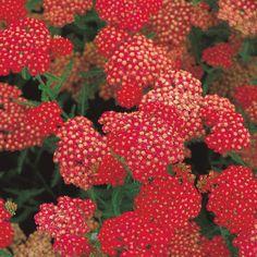 Pflanzen-Kölle Schafgarbe rot, 11 cm Topf.  Dekorative, farbenfrohe Blüten in faszinierendem Dunkelrot begeistern jeden Staudenliebhaber über viele Wochen.