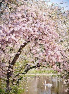 Lovely Clusters - Online Curator : London Photography - Spring in St James Park, Pink Blossom Tree Art Print Pink Blossom Tree, Spring Blossom, Cherry Blossoms, Floating Flowers, London Photography, Photography Flowers, Fine Art Photography, Photography Ideas, Nature Photography