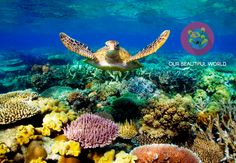 Turtle is swimming in the Great Barrier Reef Australia. Coral can develop only under shallow calm sea. Best place and condition for limestone development in geologic time scale. Great Barrier Reef Australia, Work And Travel Australien, Puerto Princesa, Parc National, National Parks, Snorkelling, London Eye, Blog Voyage, Underwater World
