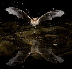 images of bats flying | Photographing bats with a PhotoTrap and Bogen supports in southern ...