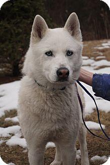 Media, PA - Husky/Samoyed Mix. Meet Rufio, a dog for adoption. http://www.adoptapet.com/pet/12056359-media-pennsylvania-husky-mix