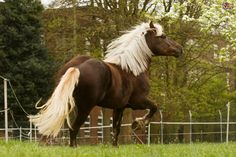 The Black Forest Horse----The Black Forest Horse stands between 14.2 and 15.3 hands and has a short head, a strong neck, well laid back shoulders and wide hide quarters. Over all a strong compact breed the striking features are their dark chestnut coat and the contrasting flaxen mane.