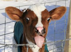 Red & White  Holstein Calf by MistyMornPhotography on Etsy, $22.00