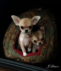 Chihuahuas are excellent pets, but a dog owner must bear in mind that the Chihuahua lifespan is shorter compared to human lifespan. That said it is important that the owner to make sure that his/her Chihuahua has a long and happy life. Chihuahua Breeders, Chihuahua Puppies, Cute Puppies, Cute Dogs, Dogs And Puppies, Doggies, Dog Pictures, Animal Pictures, Dog Photos