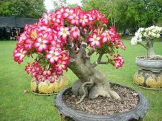 Amazing plumeria tree. Not sure who originated this pin, but this is not a plumeria. It is a Desert Rose.