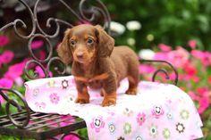 Just a little dachshund...