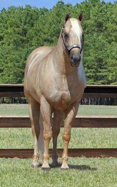 Quarter Horse stallion Sparky Starlight