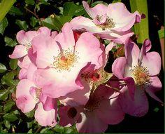 simples rosas