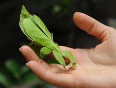 2. Walking Leaf / Leaf Insect
