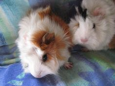 Image result for guinea pig babies