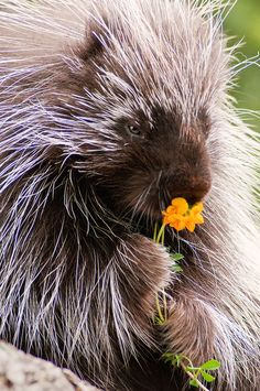 Porcupine with Flower Animal Photography Nature Animals, Animals And Pets, Funny Animals, Cute Animals, Wild Animals, Gato Animal, Mundo Animal, Beautiful Creatures, Animals Beautiful