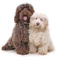Cockapoo- bigger dogs compared to others because poodle and cocker spaniel mix
