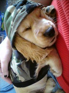 cute cocker spaniel puppy wearing a camouflage hoodie