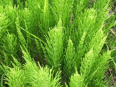Horsetail is also known as Swamp Horsetail. This is a perennial grass. The Horsetail grass will grow well in wet conditions. Garden Weeds, Garden Plants, Shade Garden, Snake In The Grass, Medicinal Plants, Live Plants, Permaculture, Horticulture, Organic Gardening