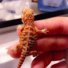 I love this little one! Check out the patterns on this dragon! #gsreptiles #goldenstatereptiles - @gsreptiles- #webstagram