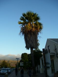 Palm tree in Franschhoek