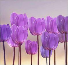 Favourite flower list: Tulips ♡