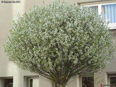 Prunus fruticosa 'Globosa' = Prunus eminens 'Umbraculifera'