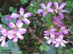 https://flic.kr/p/Ps8YoW   Trevo   Muitas flores de trevo em um canto do quintal. Lorena-SP