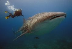 Whale Shark in the Galapagos Islands