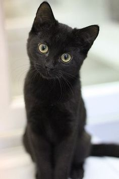 17 Black Cat Voids That Are Not-So-Secretly Watching And Judging You - I Can Has Cheezburger? Cats 17 Black Cat Voids That Are Not-So-Secretly Watching And Judging You Cute Cats And Kittens, Cool Cats, Kittens Cutest, Black Kittens, Ragdoll Kittens, Tabby Cats, Bengal Cats, Pretty Cats, Beautiful Cats