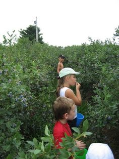 Picking blueberries with grandma.  Grandma would tie a galvanized small milk pail or a cut off plastic jug around our waists with baler twine and we would go help pick blueberries. I remember way back in the 60's and early 70's they were 10 cents a quart and organic of course!!! AND I remember it was all on the honor system . You put your money in a homemade wooden lock box at the end of the lane road. Of course us kids probably ate more than we picked!