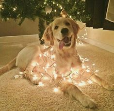 This golden retriever wrapped in festive lights. - Sanjo - This golden retriever wrapped in festive lights. This golden retriever wrapped in festive lights. Animals And Pets, Funny Animals, Cute Animals, Funny Dogs, Baby Animals, Cute Dogs And Puppies, I Love Dogs, Doggies, Tiny Puppies