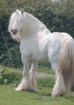 MOONLIGHT SONATA {Gypsy Vanner Stallion}                                                                                                                                                     More