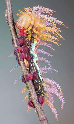 Caterpillar of saturniidae moth, the family Saturniidae, commonly known as saturniids, by most measures include the largest species of moths. They are a family of Lepidoptera, with an estimated 2,300 described species worldwide. The Saturniidae include such Lepidoptera as the giant silkmoths, royal moths and emperor moths. (wiki)