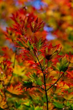 Some photographs of my own, taken at Westonbirt Arboretum, in the colourful Autumn  Copyright Fincher Trist
