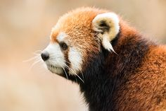 Red Panda VIII by Abeselom Zerit on 500px