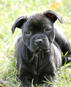 Staffordshire Bull Terrier pup - Silver Cross Staffordshire Bull Terriers