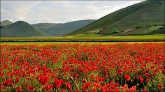 Castelluccio di Norcia - fioritura papaveri