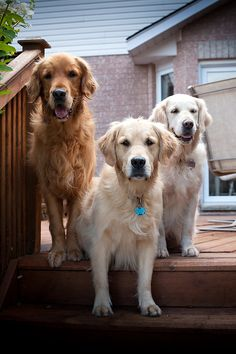 all shades of Gold...Thompson goldens