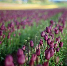 Tulips, by Hasselblad by Danielle Hughson, via 500px