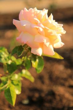 Sunset in the Rose Garden. Photo by Mademoiselle Mermaid.