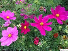 punakosmos,kosmoskukka,yksivuotinen kasvi,kesäkukka,puutarha