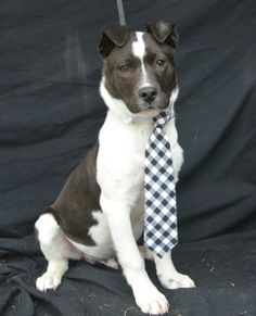 Harley is a 3 month old black/white Lab-x who gets along well with other dogs. He is friendly. He came in as a stray through Animal Control.This is a courtesy post for a local shelter that TLC supports, Humane Society of Cedar Creek Lake, therefore,...