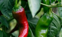 10 tips to growing your own chilles