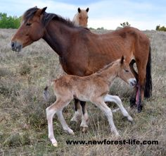 My New Forest foal finds his legs! Hooray. Notcie the little tongue, he still licks us as often as he can now he's nearly a big boy! Would you like to follow the birth of a New Forest pony? Start to finish? http://bit.ly/1ium2WG