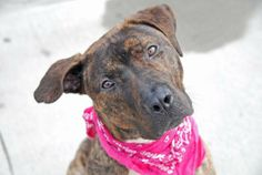 TO BE DESTROYED 4/27/14 Brooklyn Center -P  My name is BROWNIES. My Animal ID # is A0996968. I am a female br brindle pit bull mix. The shelter thinks I am about 1 YEAR 6 MONTHS old.  I came in the shelter as a STRAY on 04/17/2014 from NY 11212, owner surrender reason stated was STRAY. https://www.facebook.com/photo.php?fbid=790530590959822&set=a.611290788883804.1073741851.152876678058553&type=3&theater