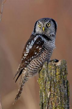Google Image Result for http://www.ofo.ca/photoalbums/checklist/Owls/Northern%2520Hawk%2520Owl/slides/BH_NorthernHawkOwl4.jpg