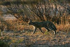 A rare sighting of a Serval on one of our afternoon game drives