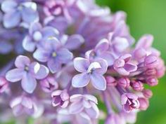 Lilac bushes are the stars of the show for a few fleeting weeks in late spring, but if you choose the right variety and care for them properly they can play their part in the summer garden too.