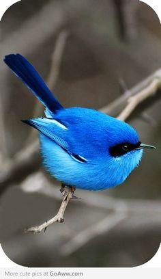 The blue fairy wren of Australia