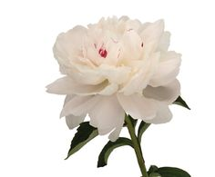 """Peony White """"Festiva Maxima"""">>picked a couple of these from a bush at mom's house, so pretty"""